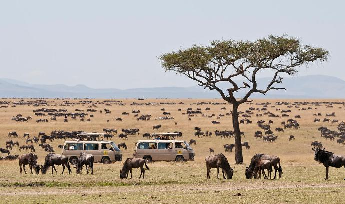 Herd of blue wildebeests (Connochaetes taurinus) with two safari jeeps, Great Migration, Masai Mara National Reserve, Kenya, Africa