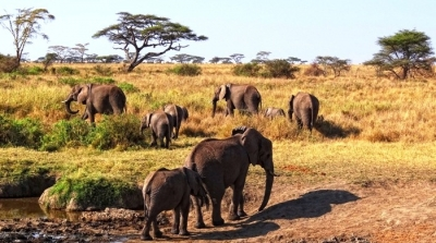 Serengeti-Elephants